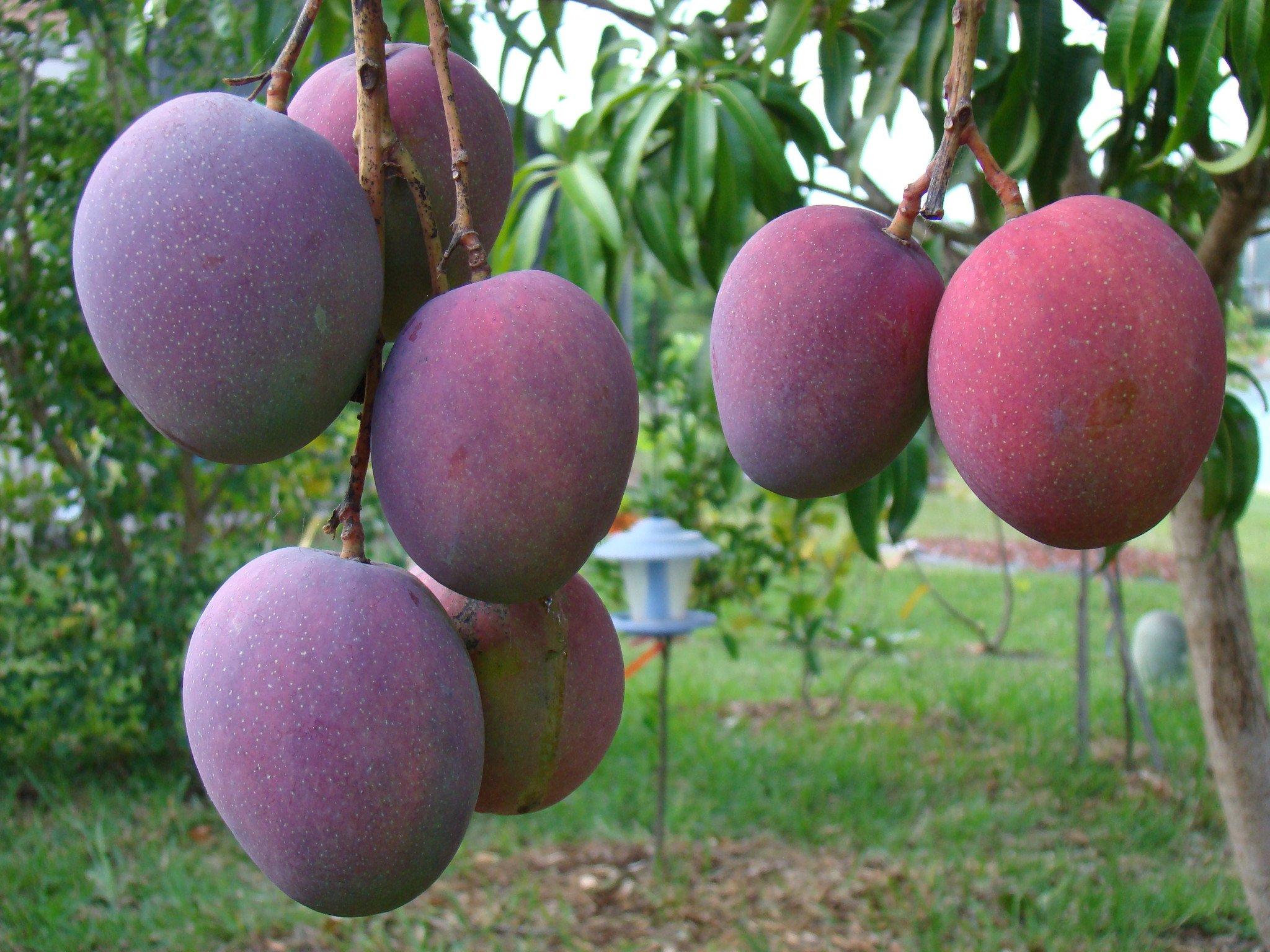Photo of Exporta Oaxaca más de 39 mil toneladas de mango a los EU, Canadá y Europa