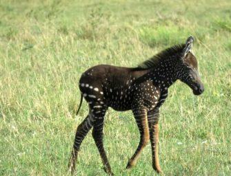 Cebra nace con puntos en lugar de rayas; se vuelve una sensación
