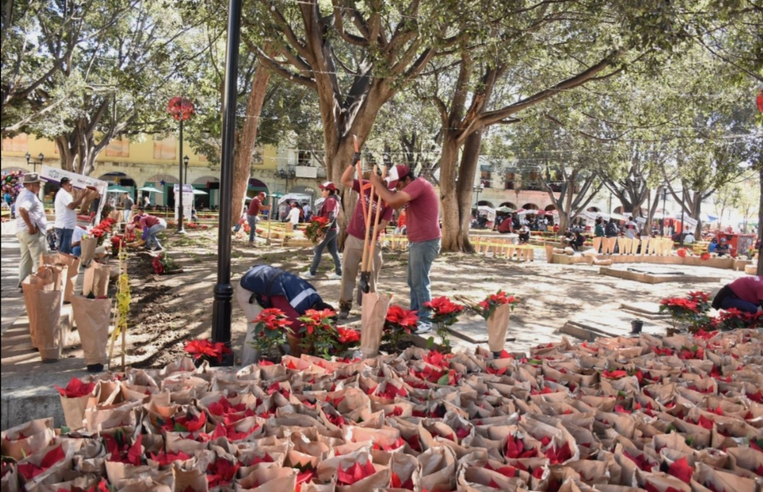 Photo of Embellece el Ayuntamiento capitalino el Zócalo con flores de Nochebuena