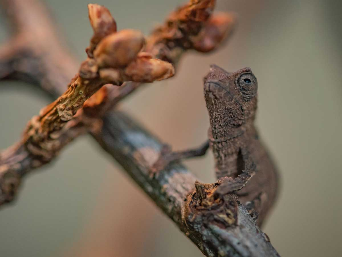Photo of Nacen 3 camaleones pigmeo; miden como una goma de lápiz