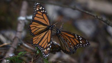 Photo of En vilo apertura de santuarios de Mariposa Monarca en Edomex