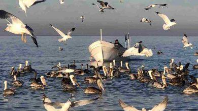 Photo of López Obrador anunciará apoyos para pescadores del hábitat de la vaquita marina